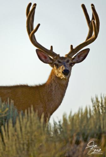 Mule Deer 107043